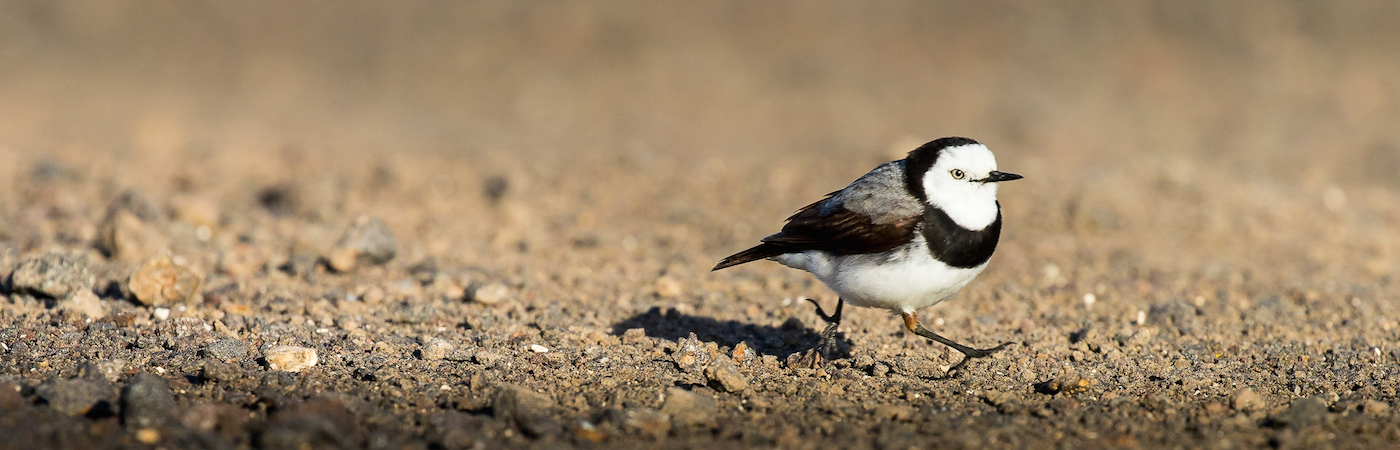 White-fronted Chat (Image ID 29219)