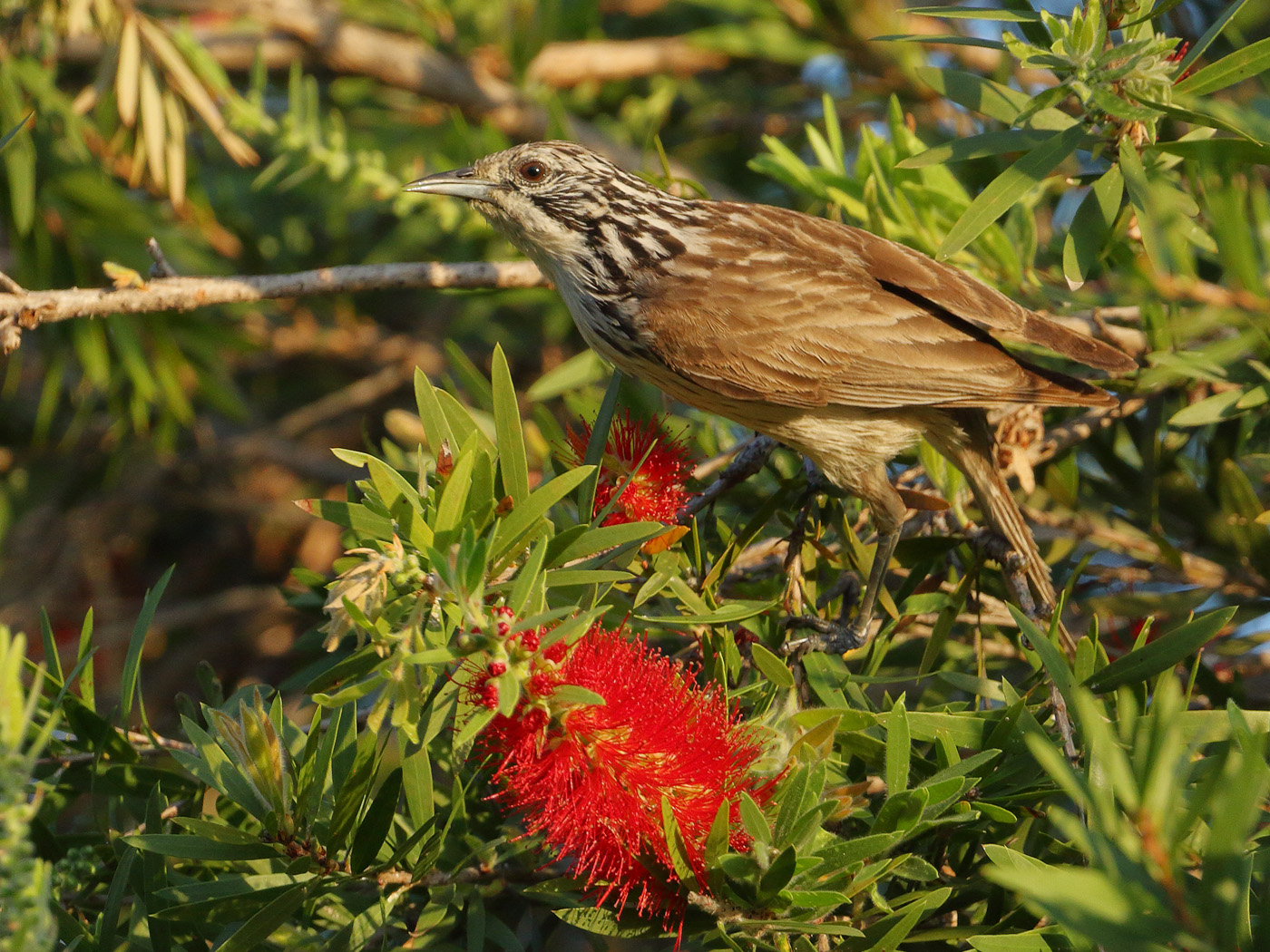 Striped Honeyeater (Image ID 29197)
