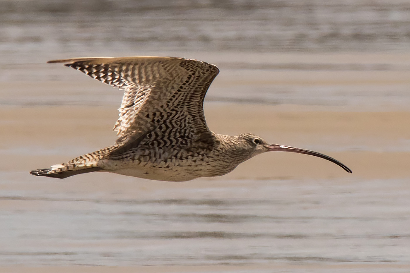 Eastern Curlew (Image ID 29432)