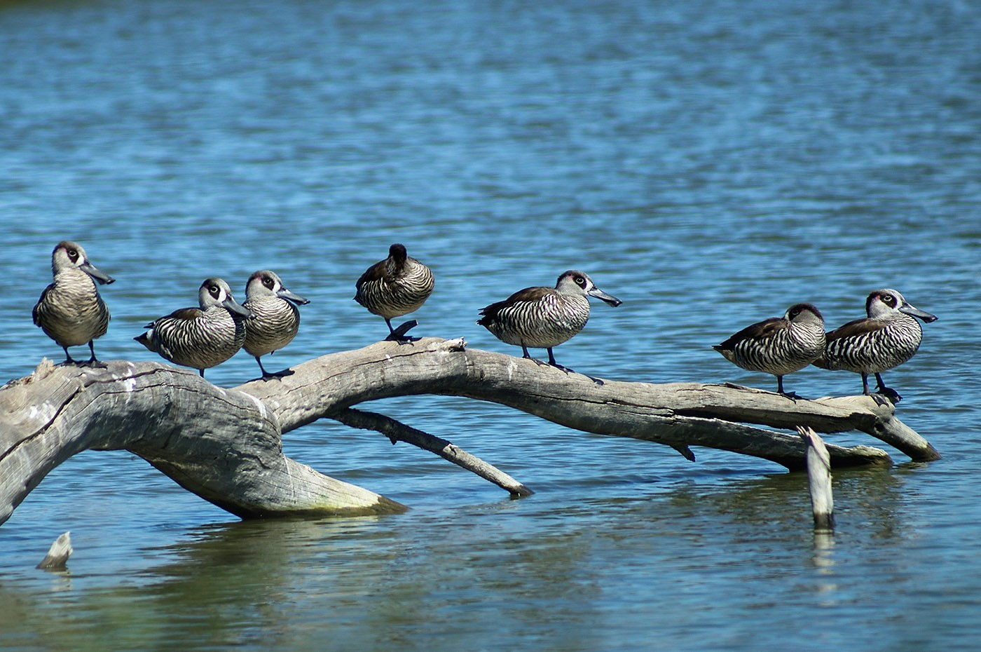 Pink-eared Duck (Image ID 29323)