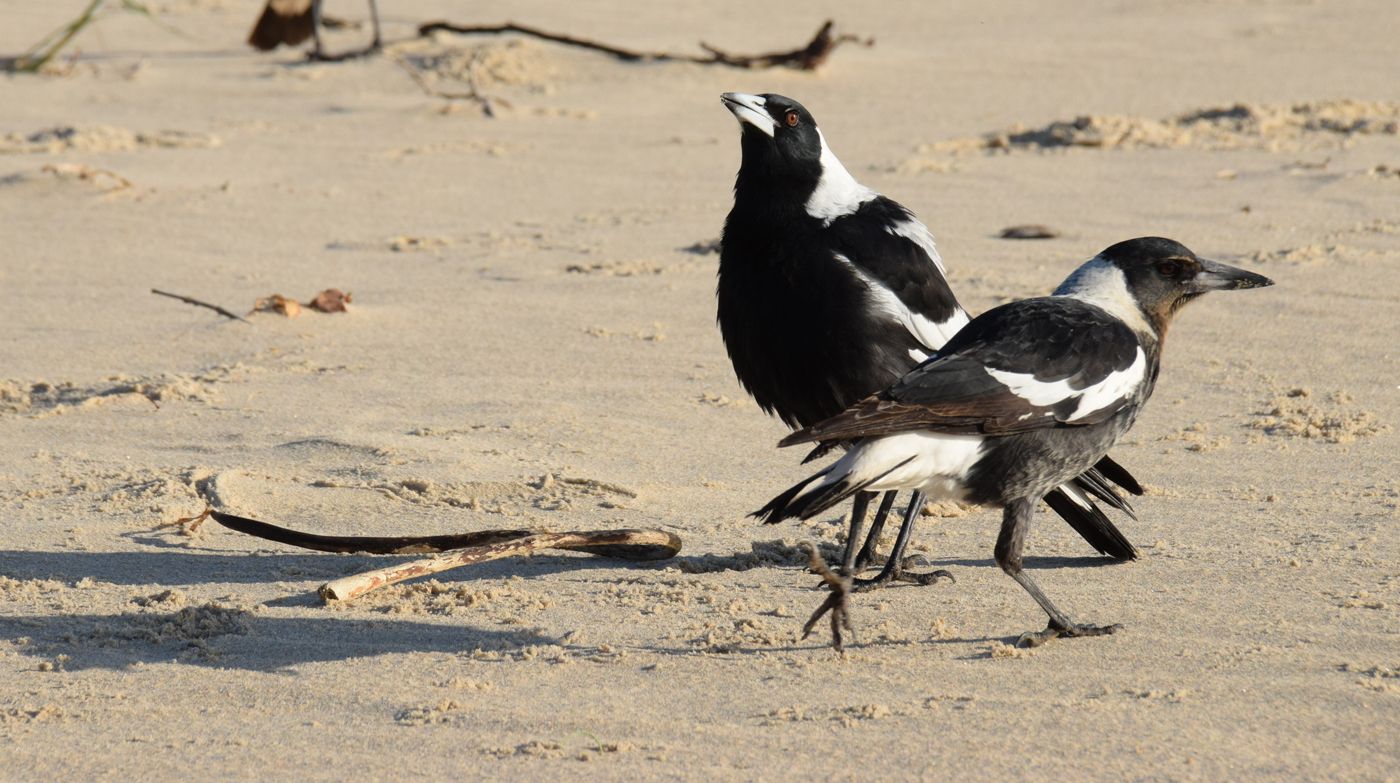 Australian Magpie (Image ID 29576)