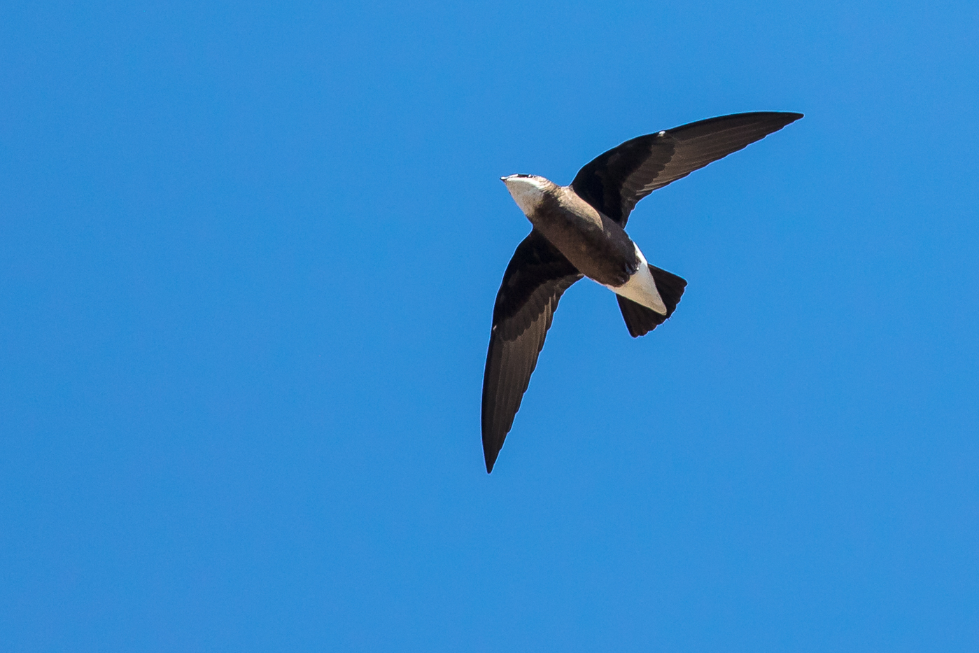 White-throated Needletail (Image ID 29463)
