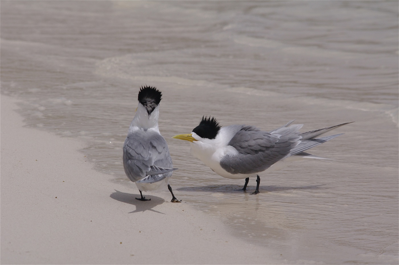 Crested Tern (Image ID 29321)