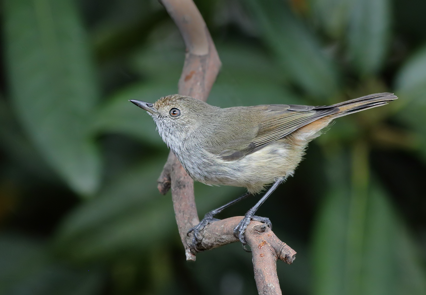 Brown Thornbill (Image ID 29723)