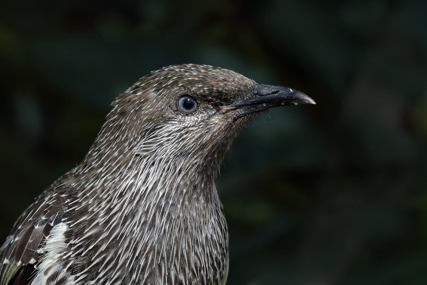 Little Wattlebird (Image ID 29511)
