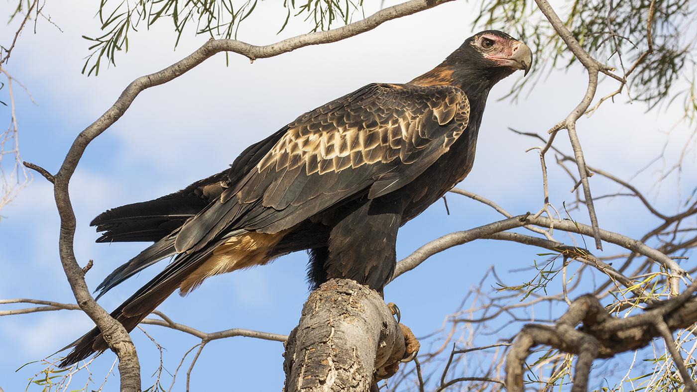 Wedge-tailed Eagle (Image ID 29352)