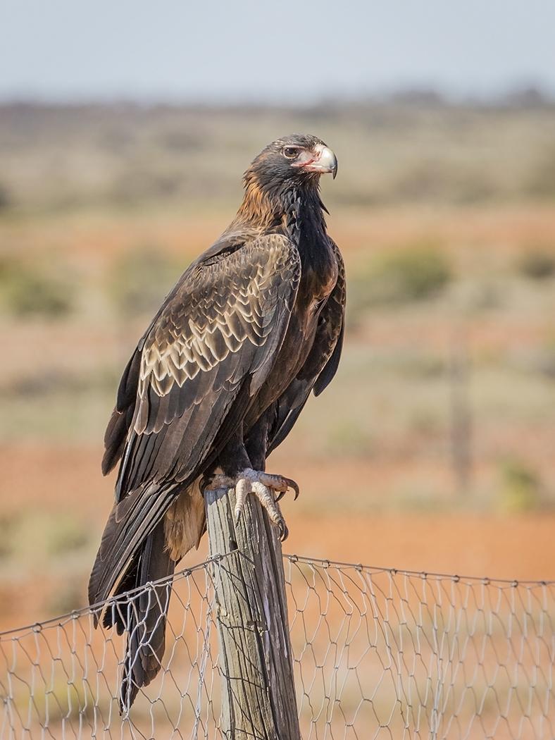 Wedge-tailed Eagle (Image ID 29351)