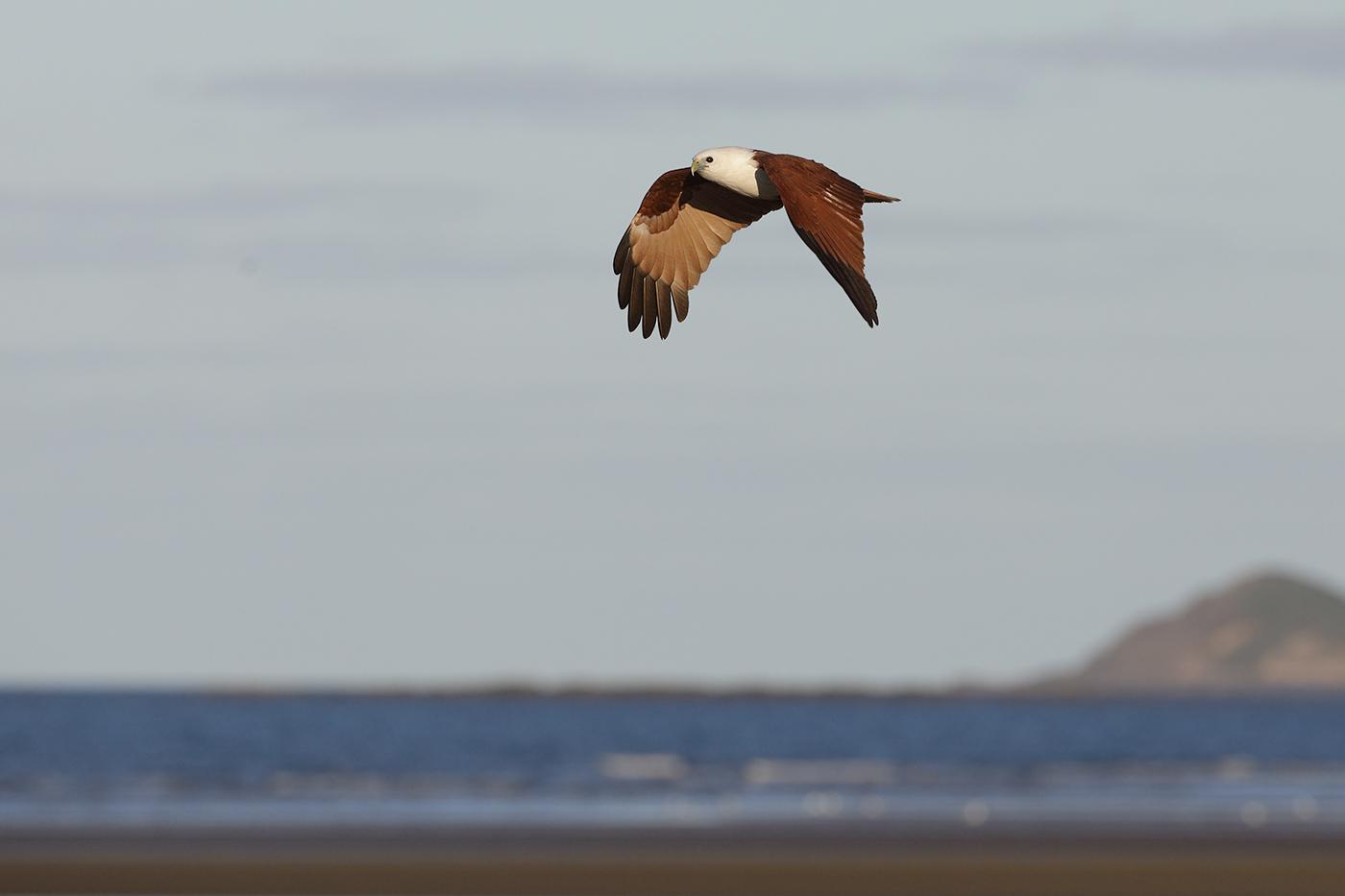Brahminy Kite (Image ID 29367)