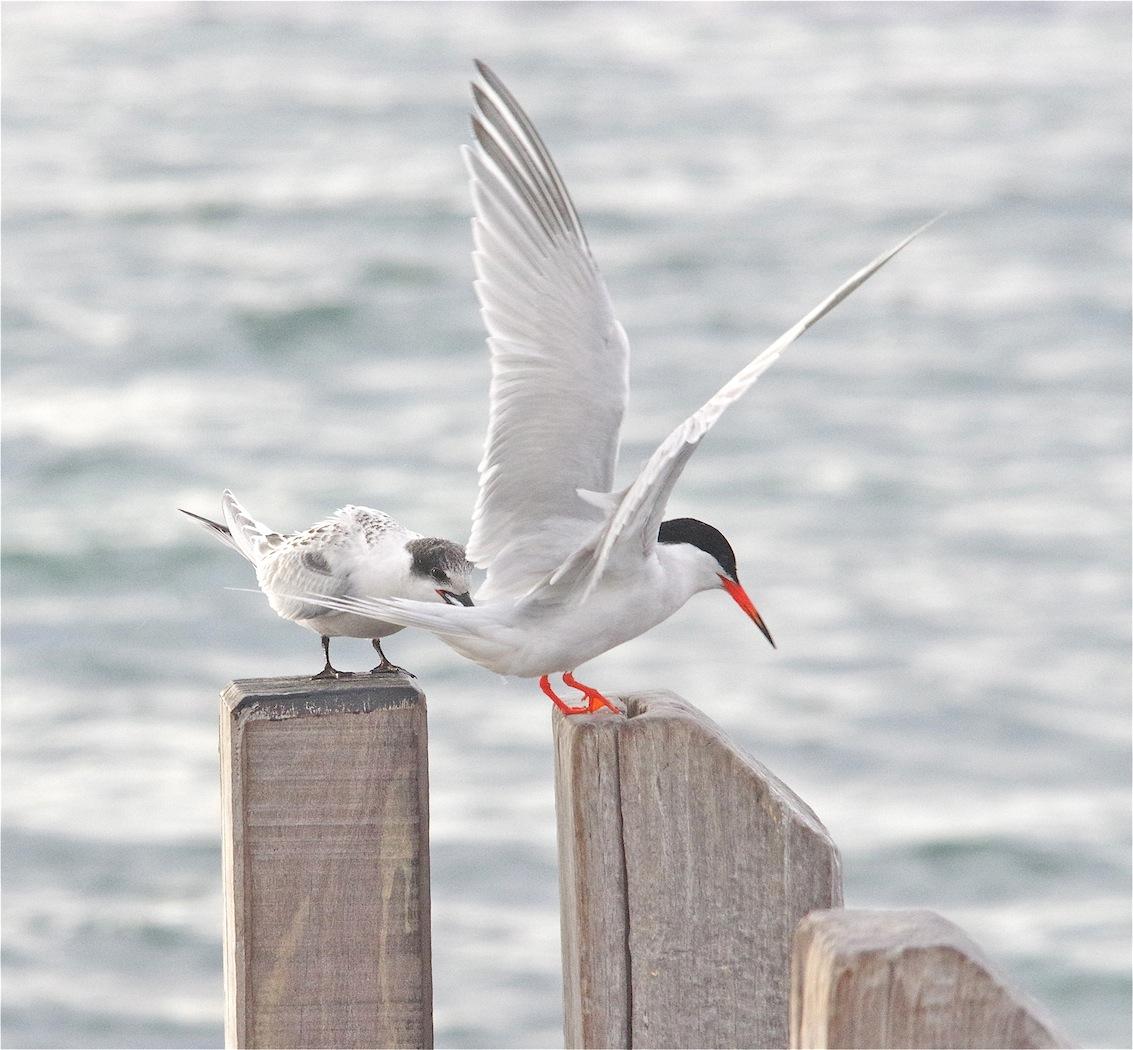 Roseate Tern (Image ID 29358)