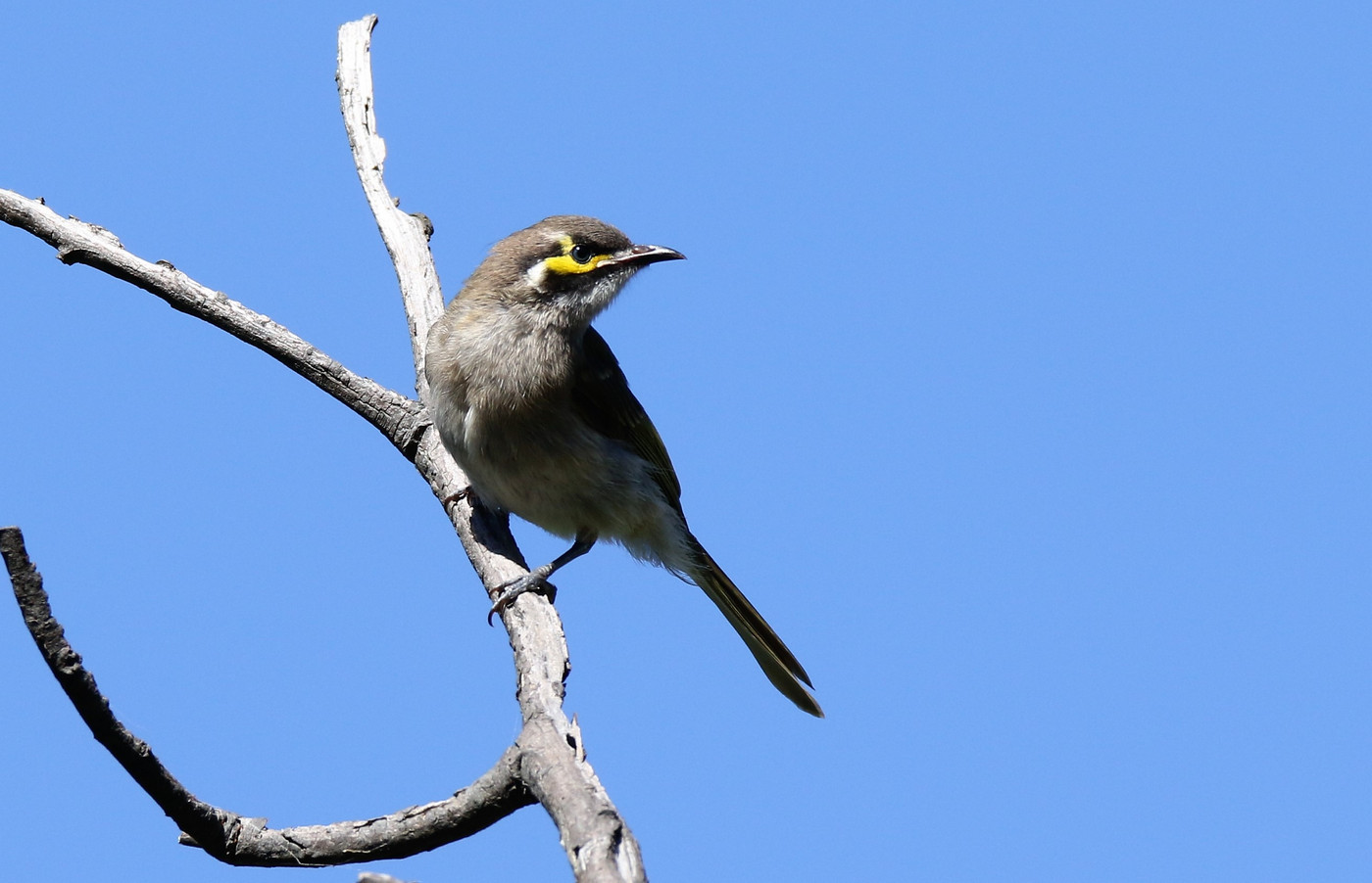 Yellow-faced Honeyeater (Image ID 29340)