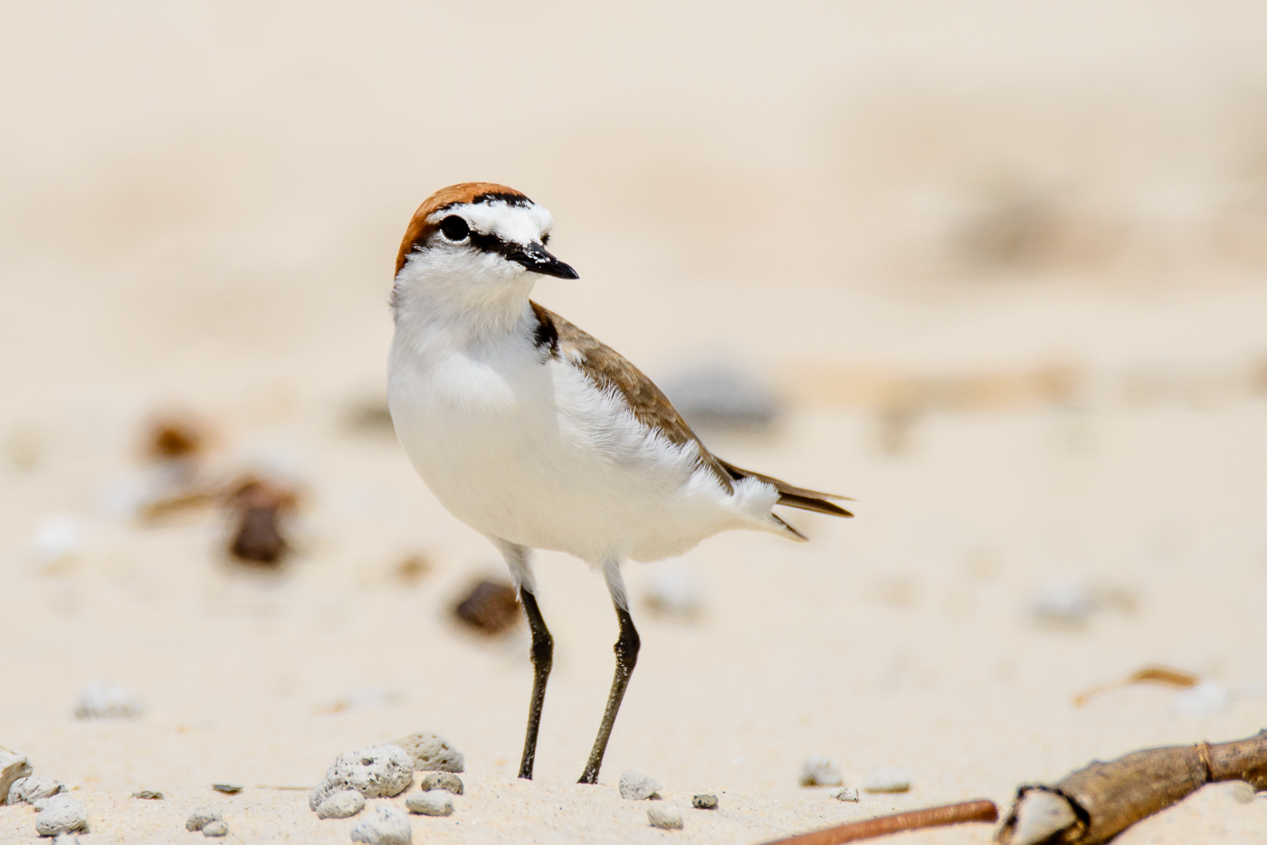 Red-capped Plover (Image ID 29479)
