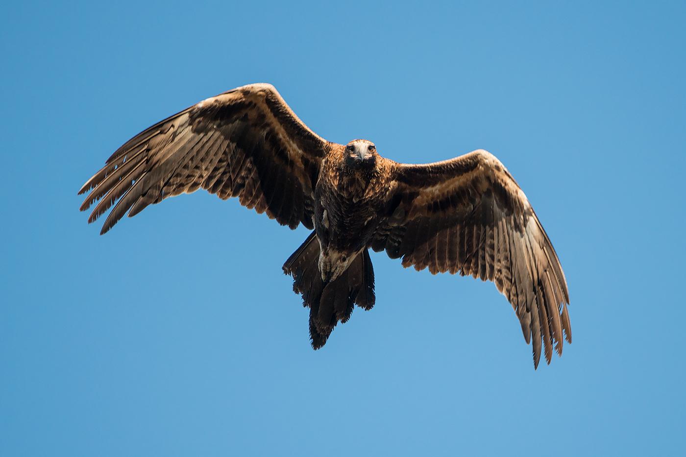 Wedge-tailed Eagle (Image ID 29517)
