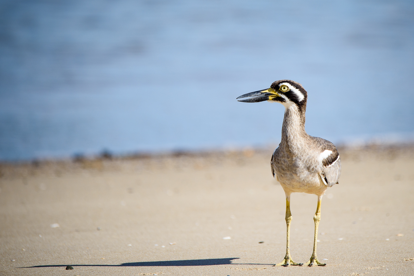 Beach Stone-curlew (Image ID 29480)