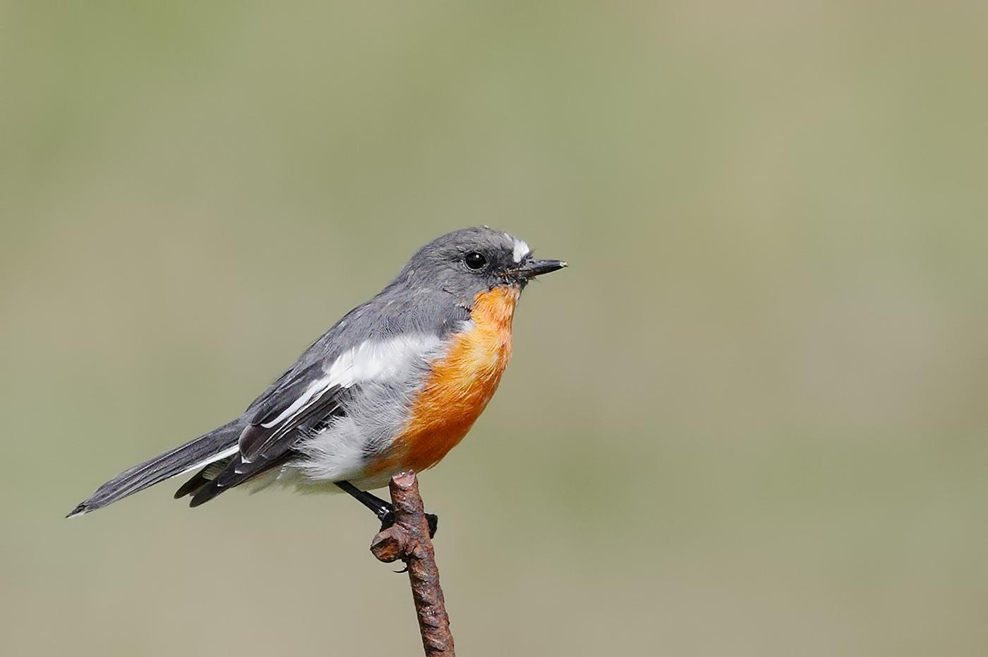 Flame Robin (Image ID 29521)
