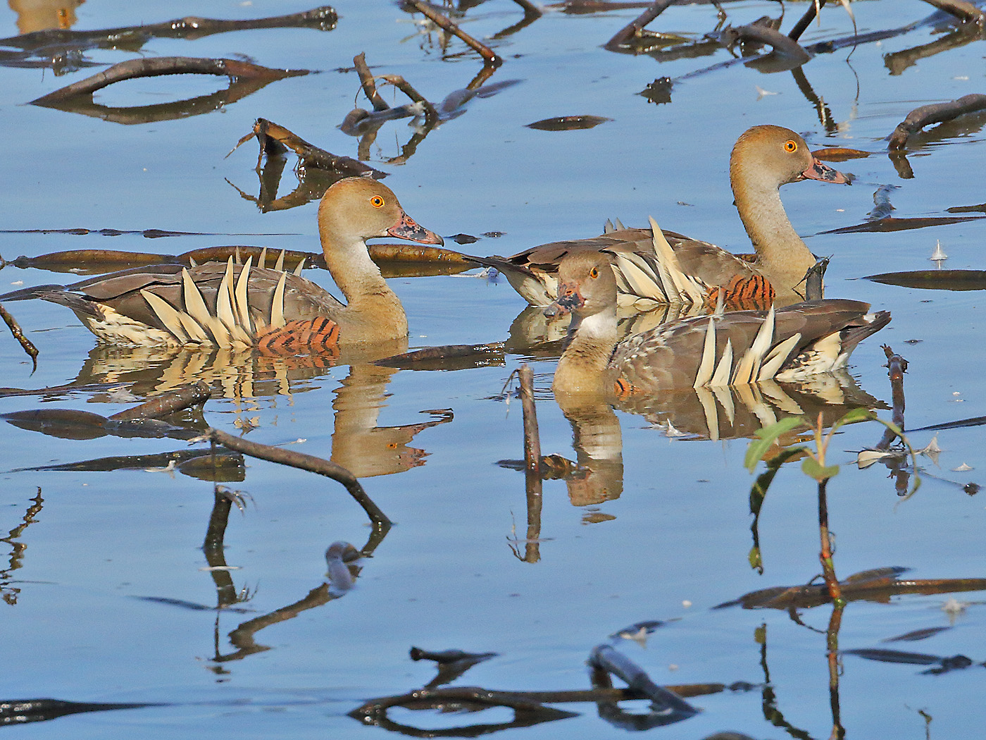 Plumed Whistling-Duck (Image ID 29446)