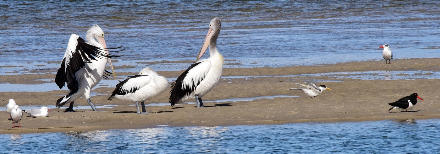 Australian Pelican, Australian Pied Oystercatcher, Caspian Tern, Lesser Crested Tern, Silver Gull