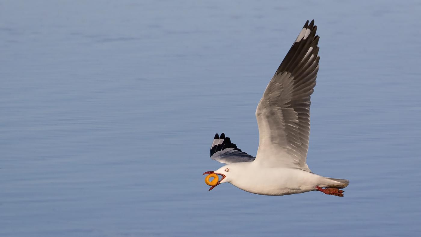 Silver Gull (Image ID 29706)