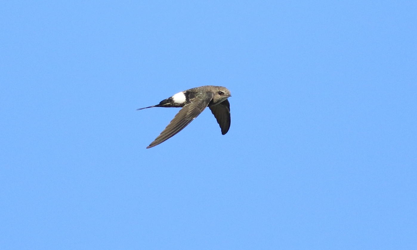 Fork-tailed Swift (Image ID 29614)