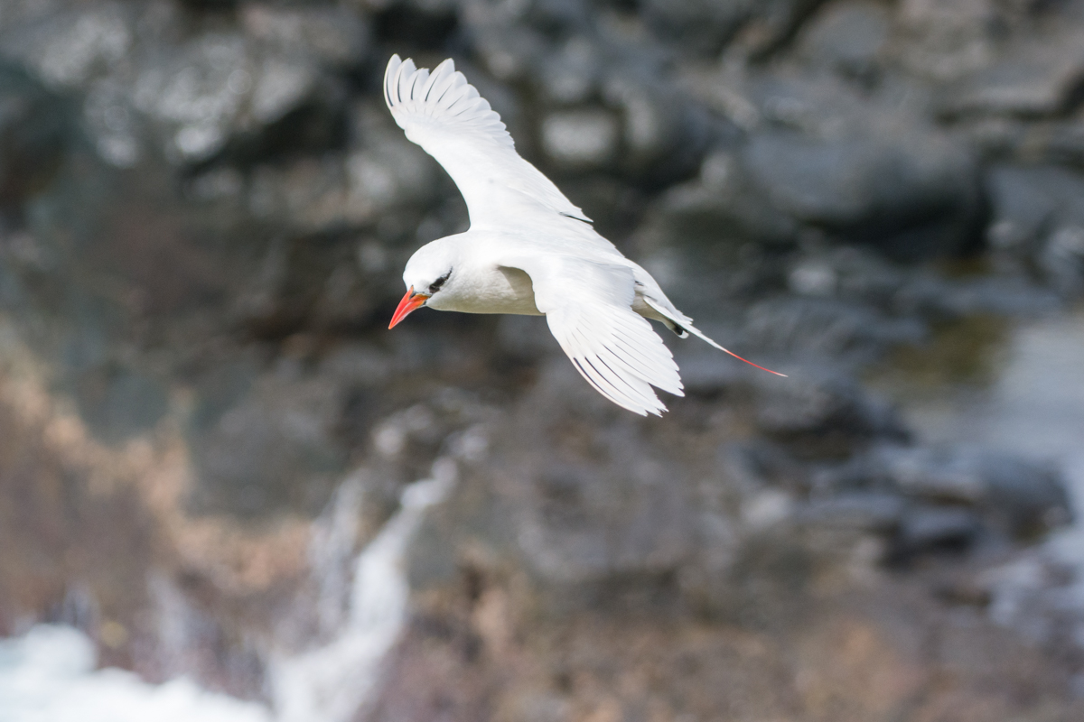 Red-tailed Tropicbird (Image ID 29682)