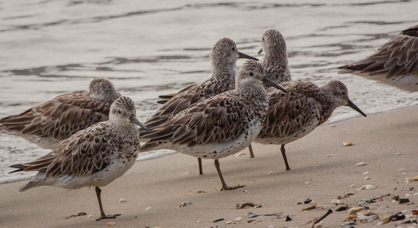 Great Knot (Image ID 29329)