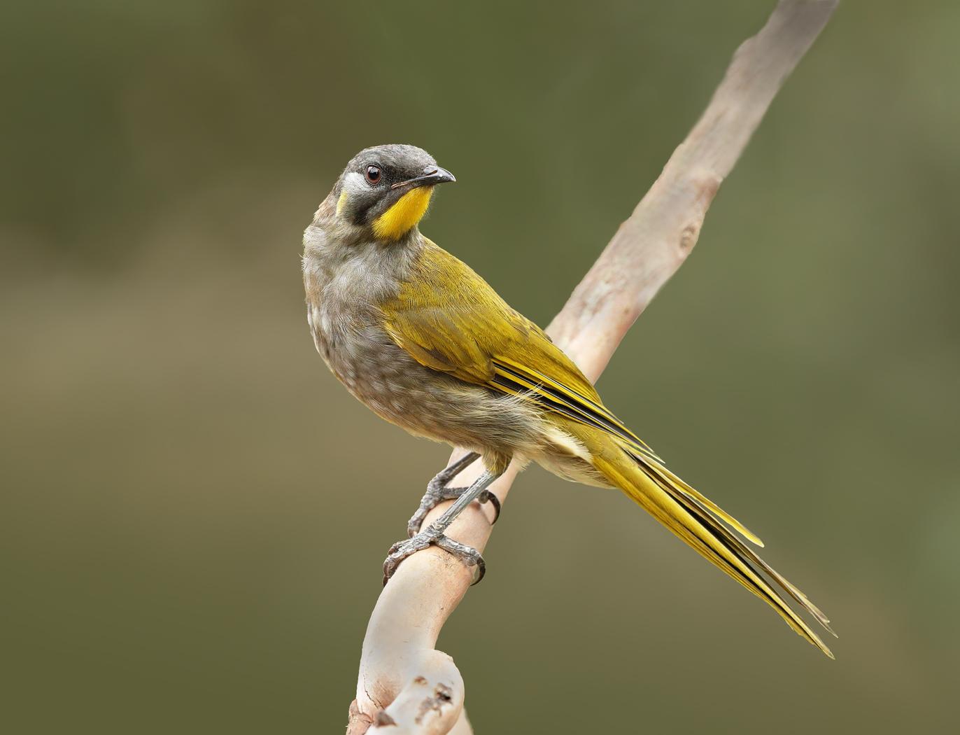 Yellow-throated Honeyeater (Image ID 29303)