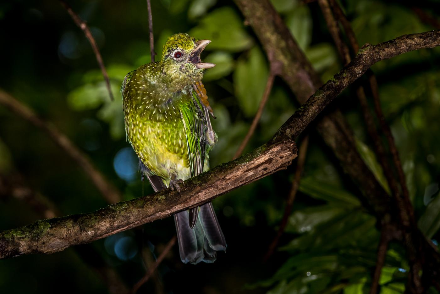 Green Catbird (Image ID 29393)