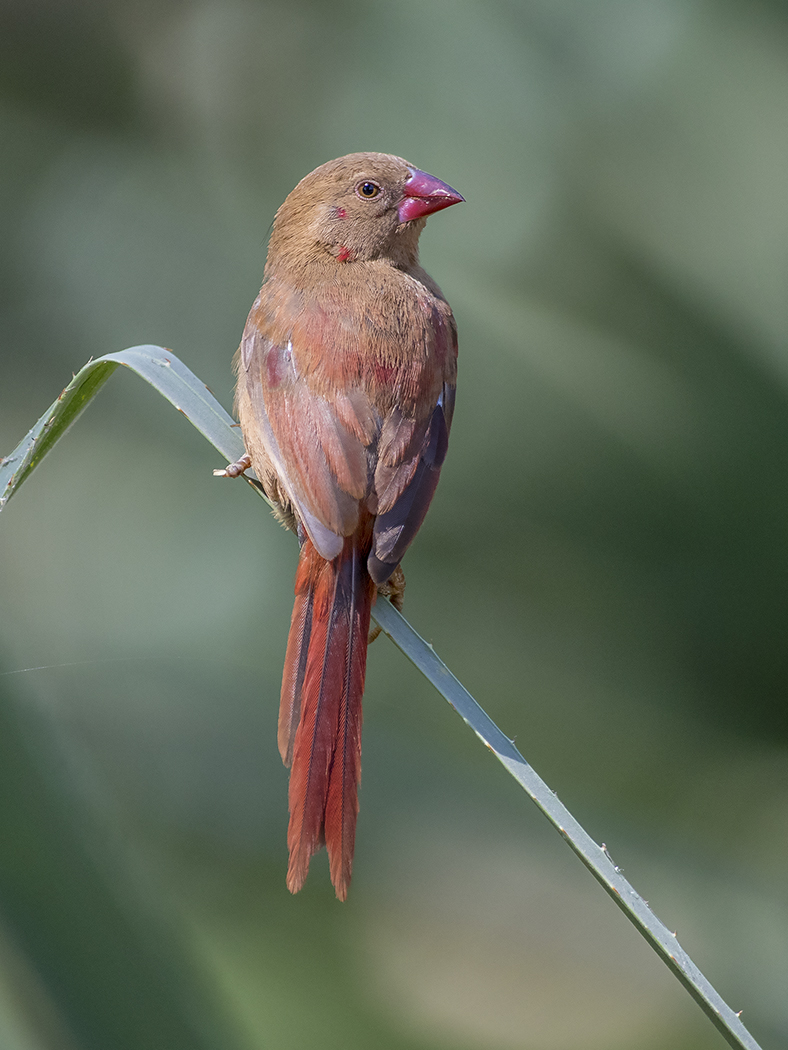 Crimson Finch (Image ID 29452)