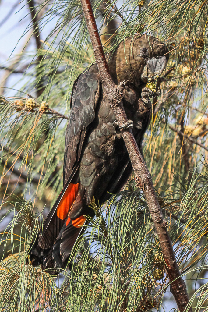 Glossy Black-Cockatoo (Image ID 29382)