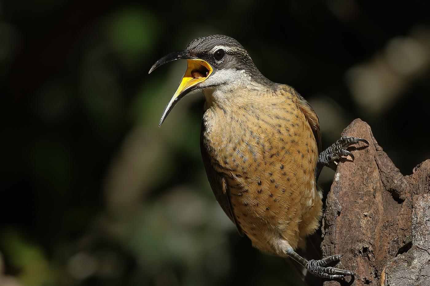 Victoria's Riflebird (Image ID 29693)