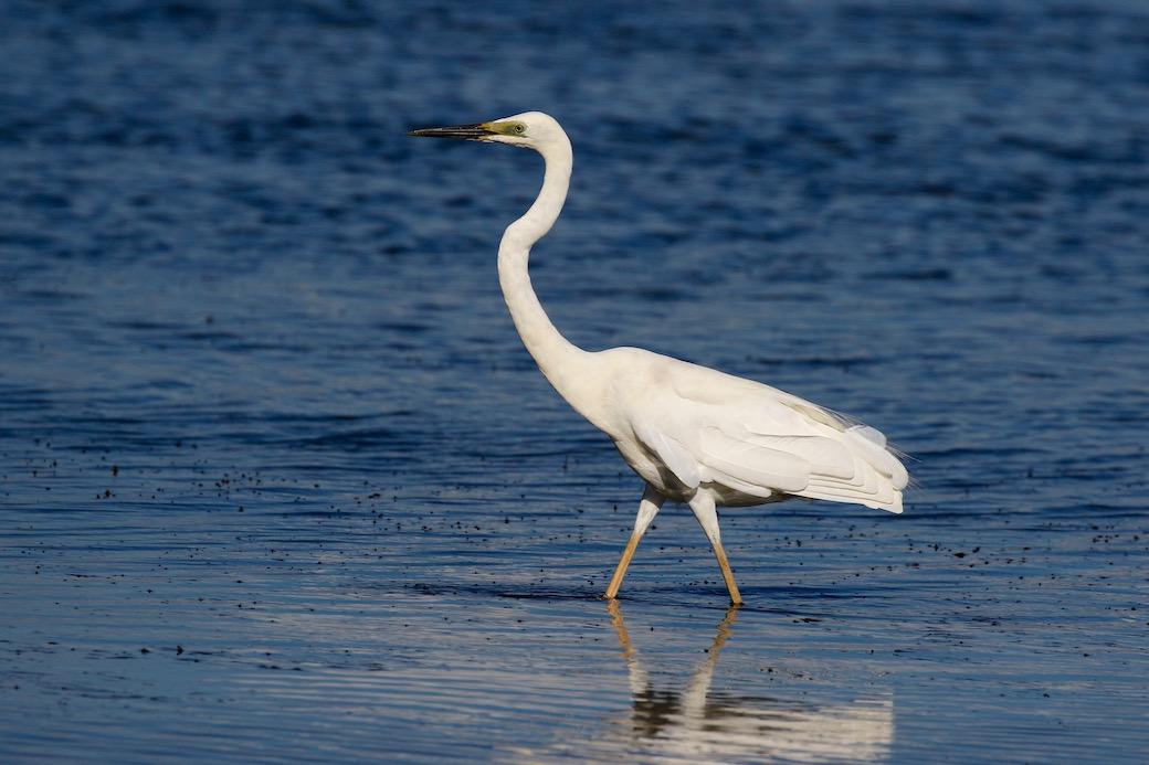 Great Egret (Image ID 29436)