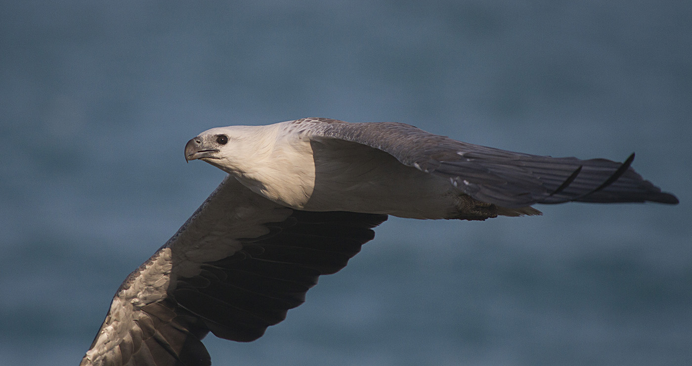 White-bellied Sea-Eagle (Image ID 29330)