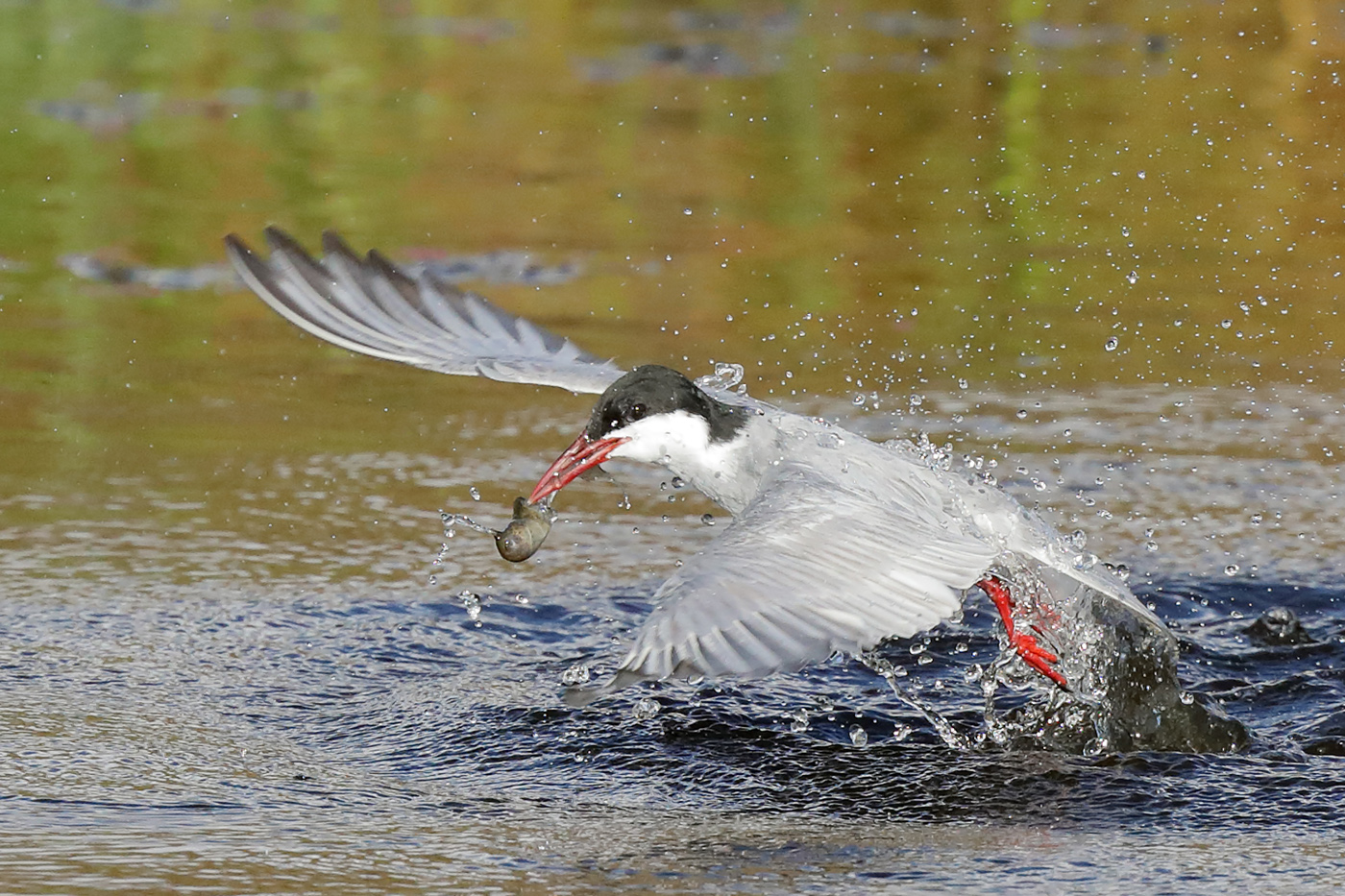 Whiskered Tern (Image ID 29555)