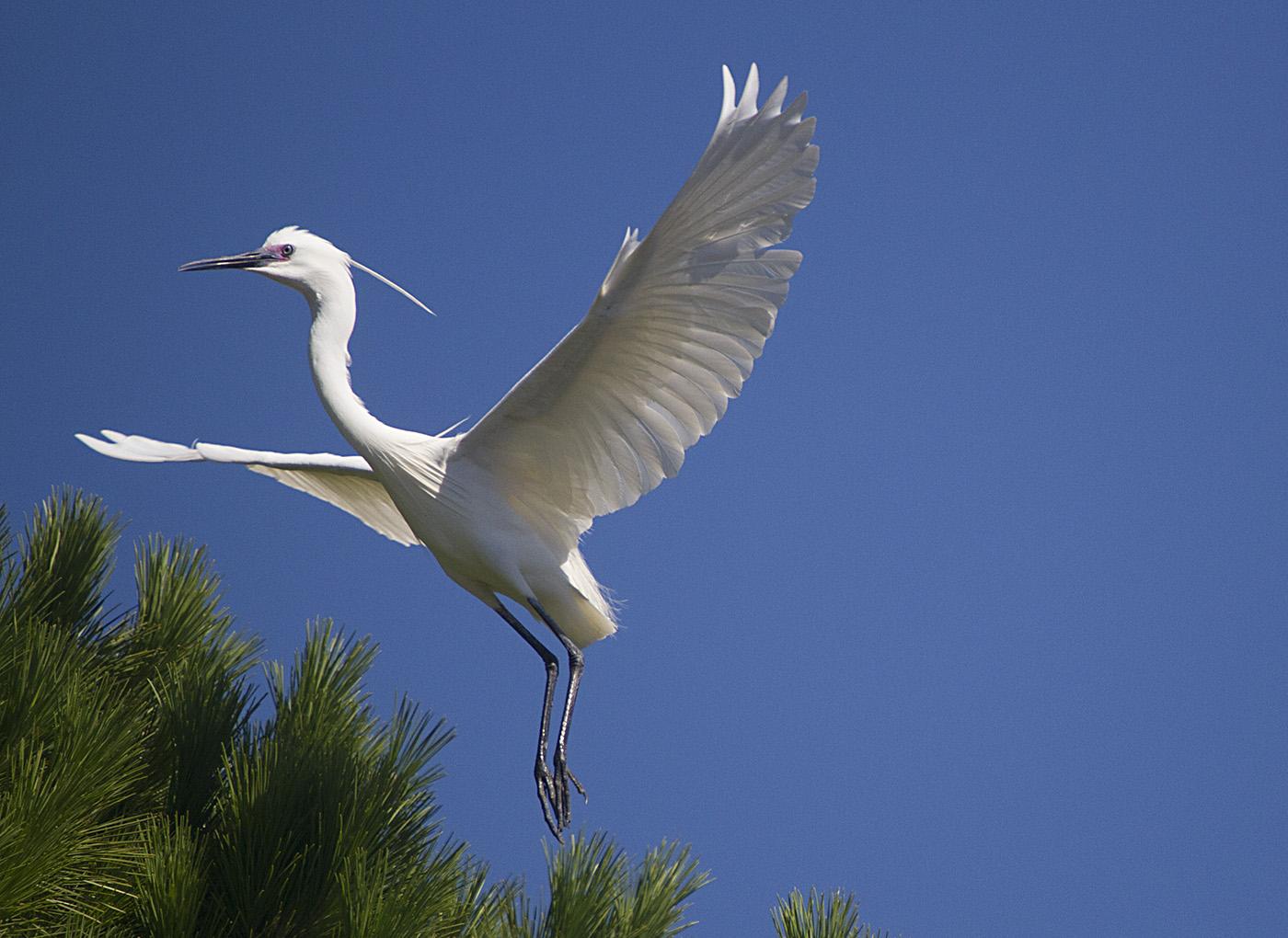 Little Egret (Image ID 29475)