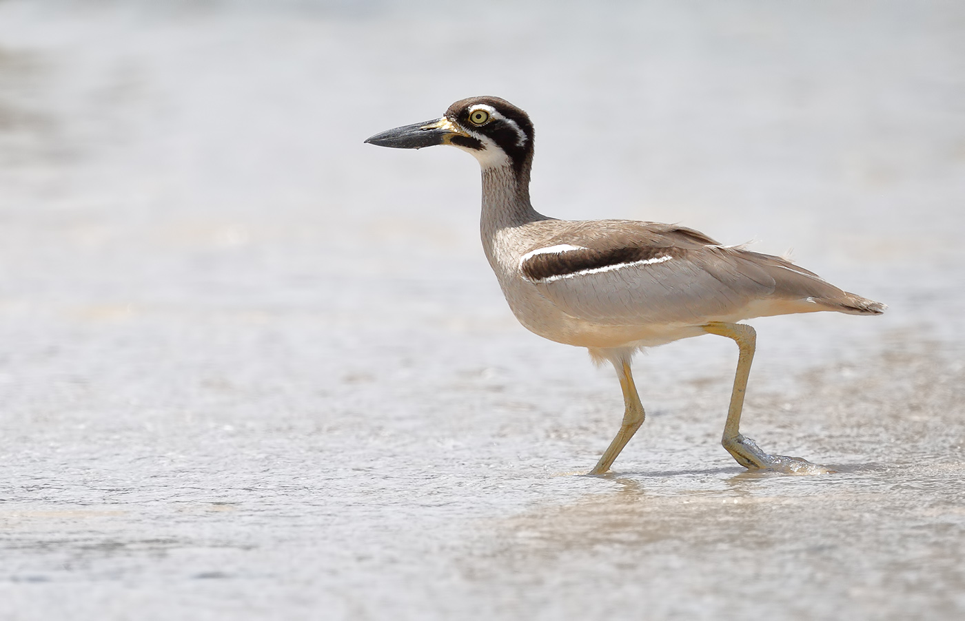Beach Stone-curlew (Image ID 29377)