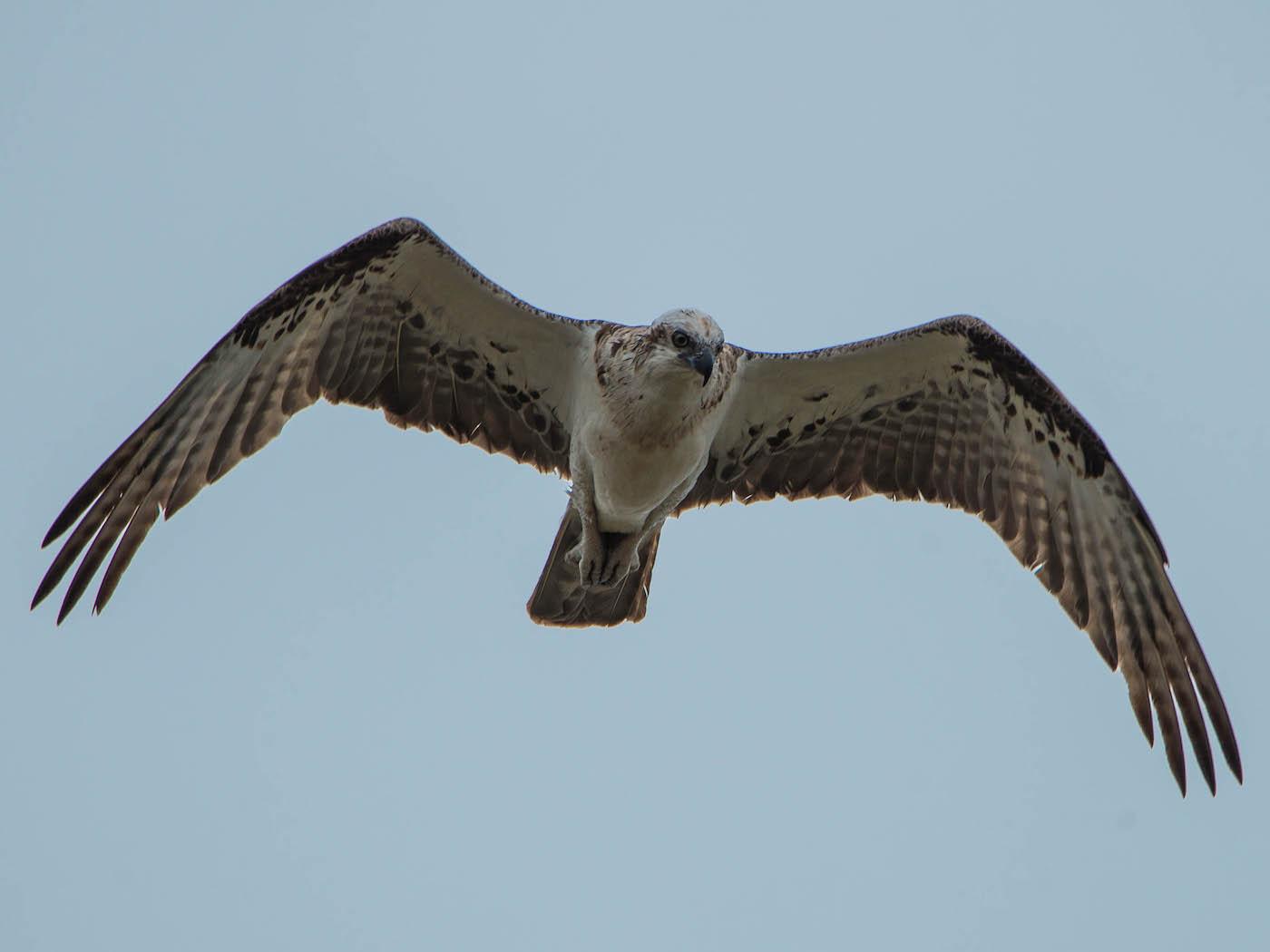 Osprey (Image ID 29441)
