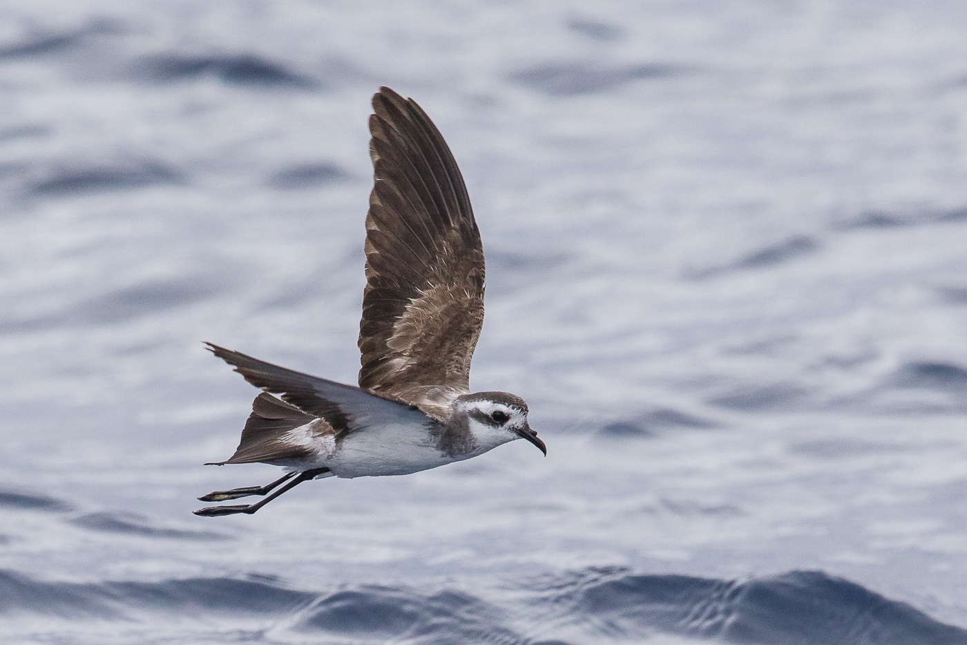 White-faced Storm-Petrel (Image ID 29770)