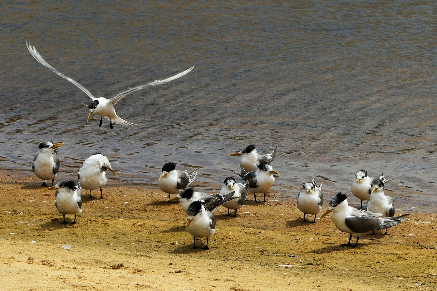 Crested Tern (Image ID 29373)