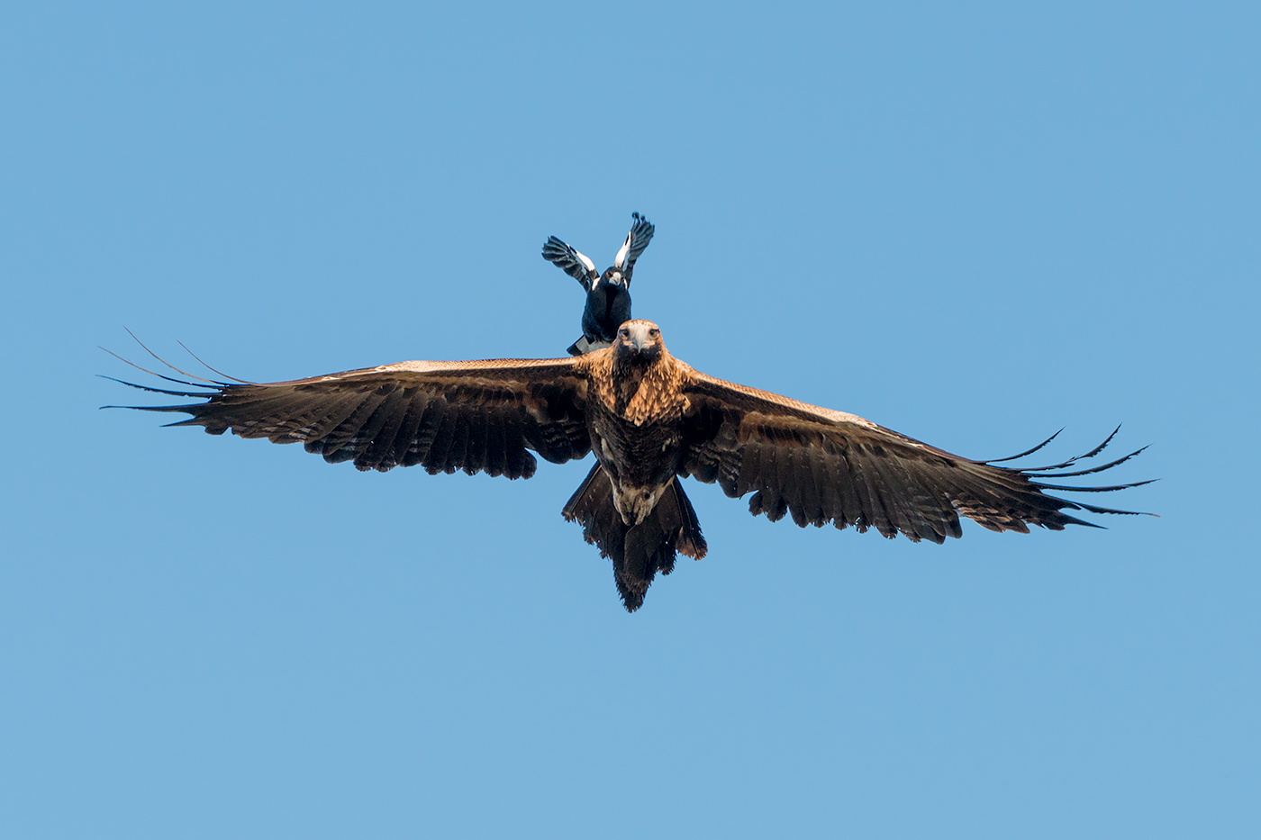 Australian Magpie, Wedge-tailed Eagle