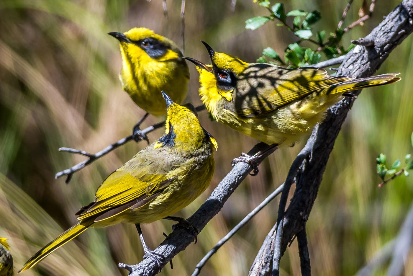 Yellow-tufted Honeyeater