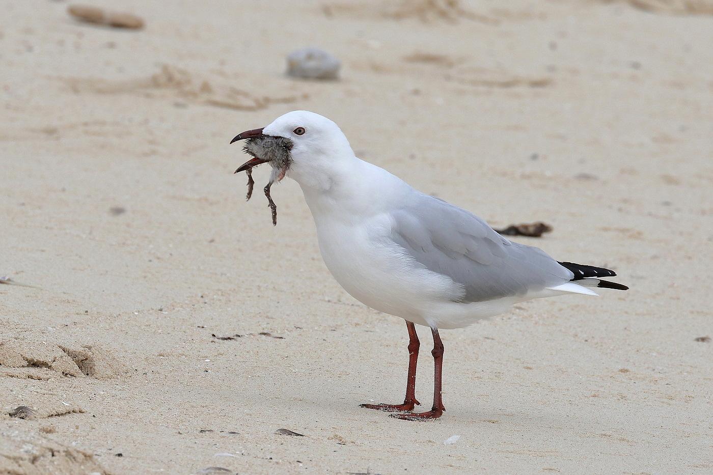 Sooty Tern,Silver Gull (Image ID 29498)