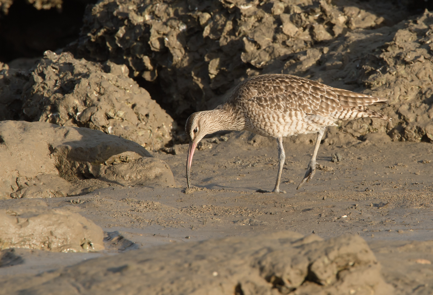 Whimbrel (Image ID 29413)