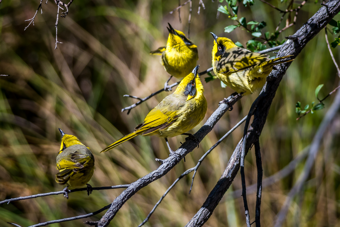 Yellow-tufted Honeyeater (Image ID 29562)