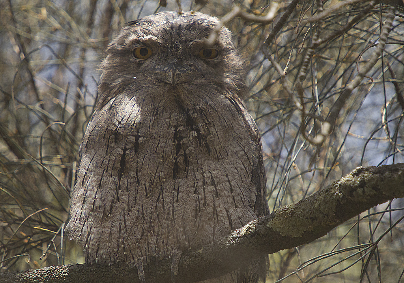 Tawny Frogmouth (Image ID 29310)