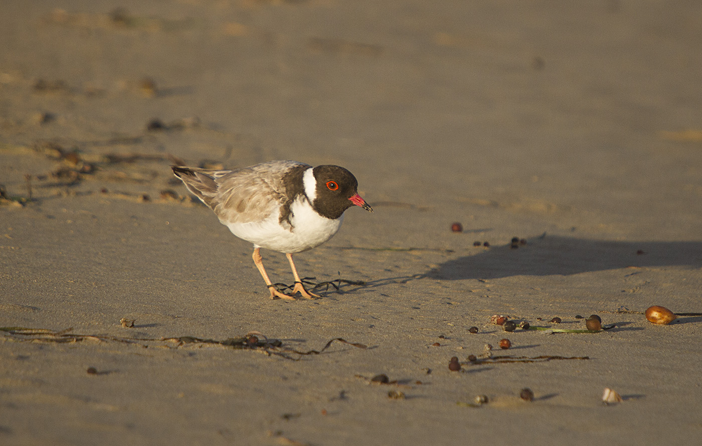 Hooded Plover (Image ID 29481)