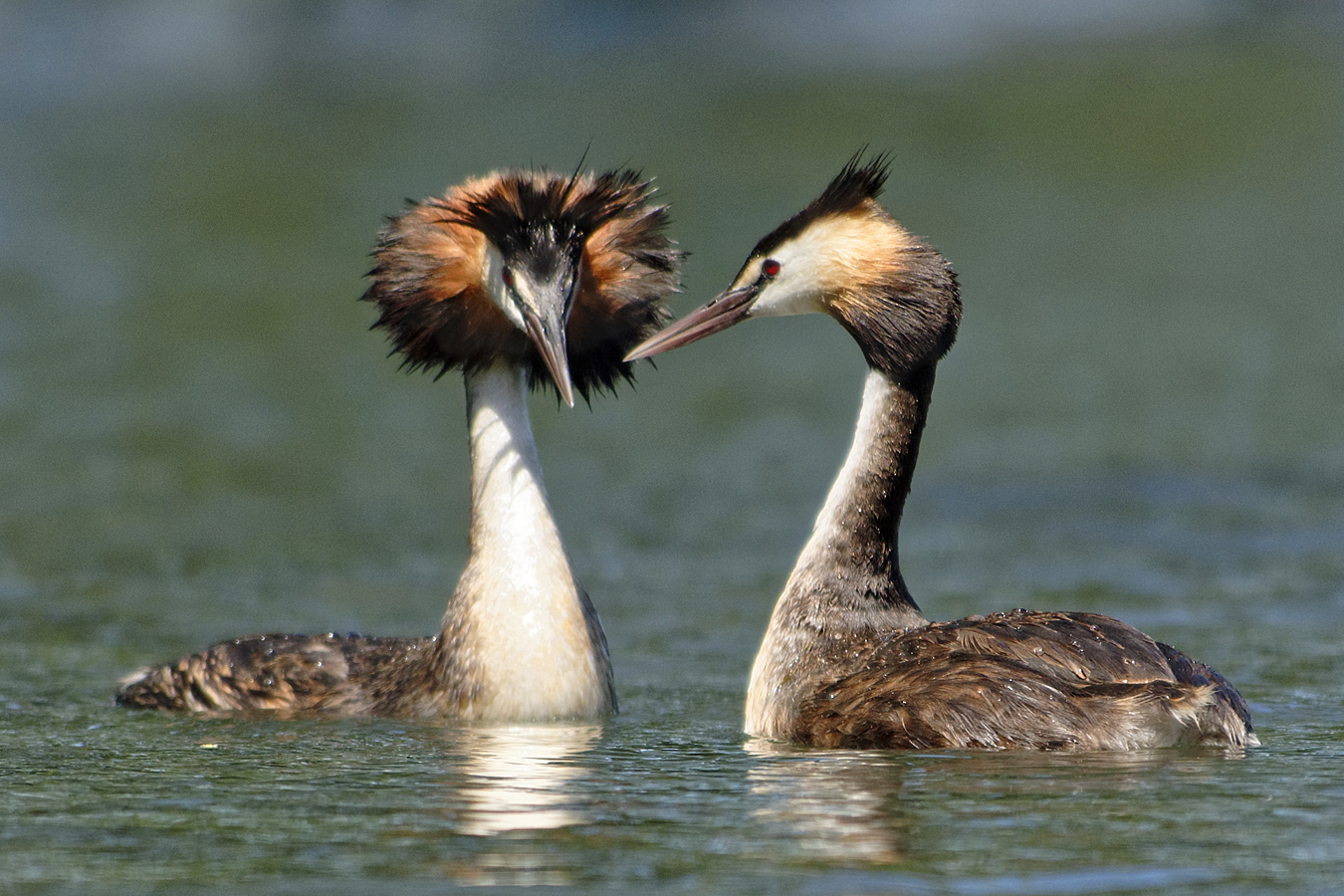 Great Crested Grebe (Image ID 29389)