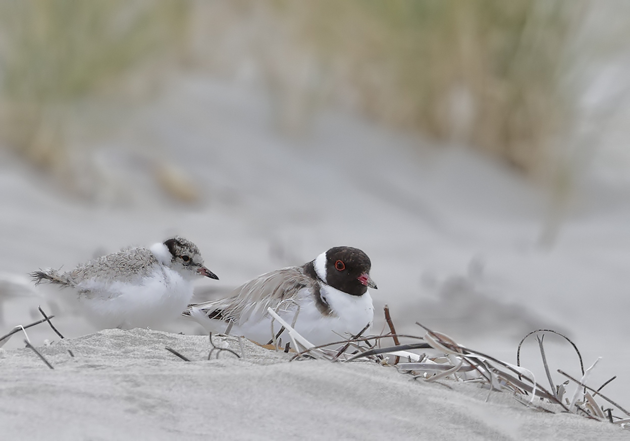 Hooded Plover (Image ID 29363)