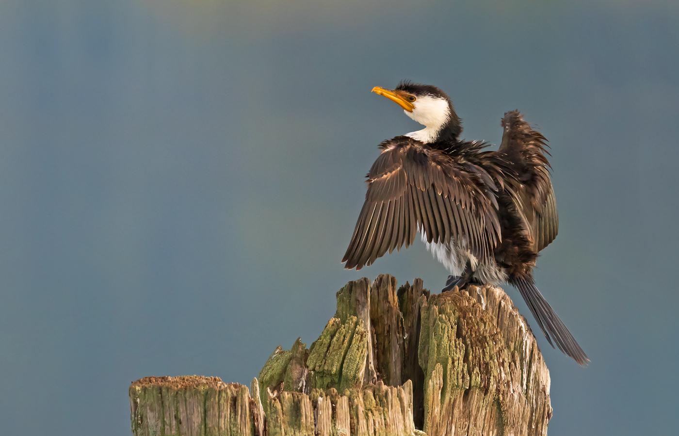 Little Pied Cormorant (Image ID 29651)