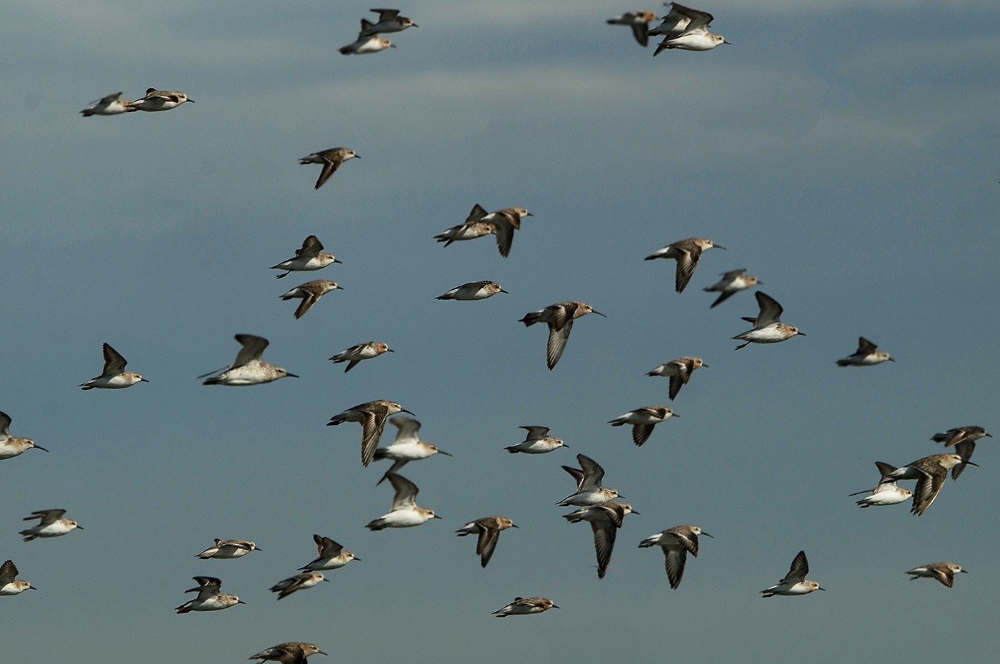 Curlew Sandpiper, Red Knot, Red-necked Stint