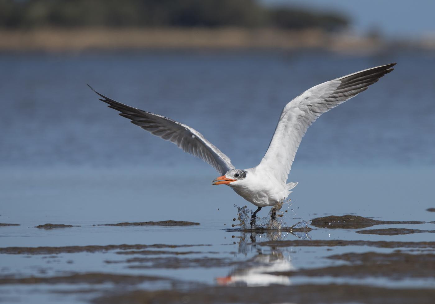 Caspian Tern (Image ID 29649)