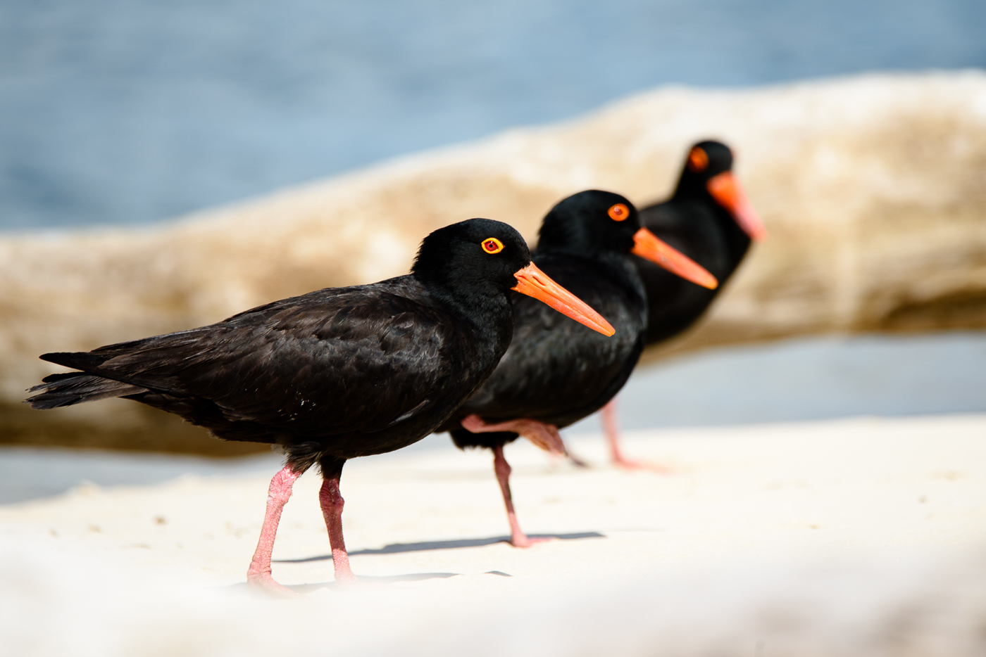 Sooty Oystercatcher (Image ID 29477)